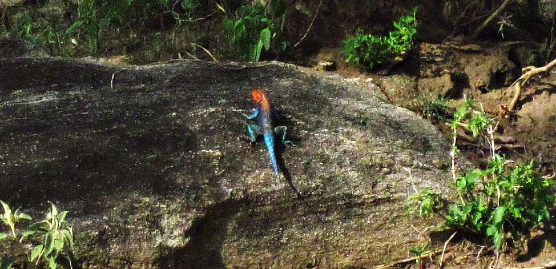 Африканские ящерки