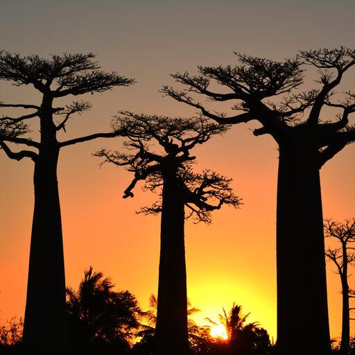 Знаменитая аллея. Это не Голливуд, детка. Здесь нет звезд. Это Мадагаскар. Здесь растут баобабы.