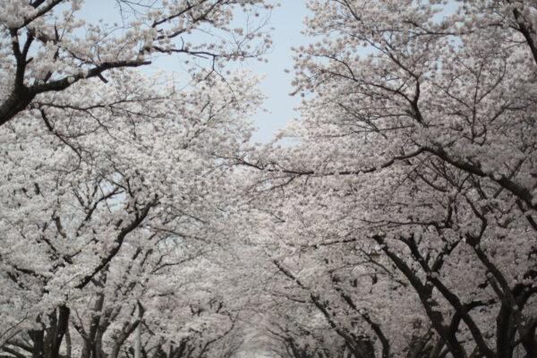 Южная Корея— альтернатива Японии посмотреть цветение вишни