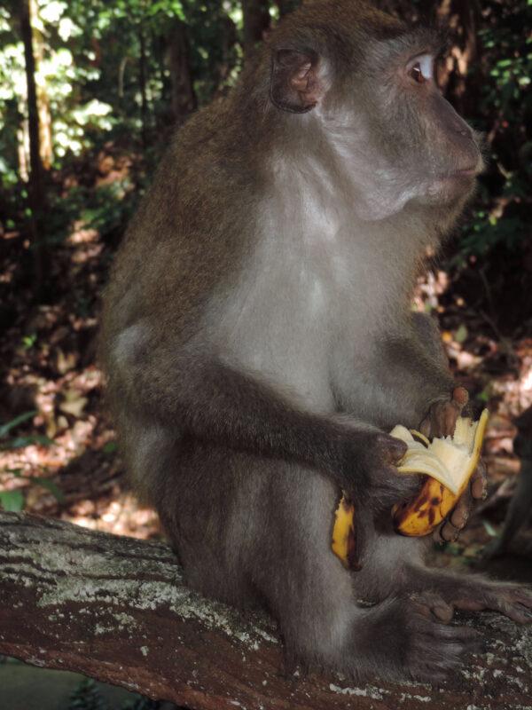 Лангкави: океан, джунгли истадо обезьян