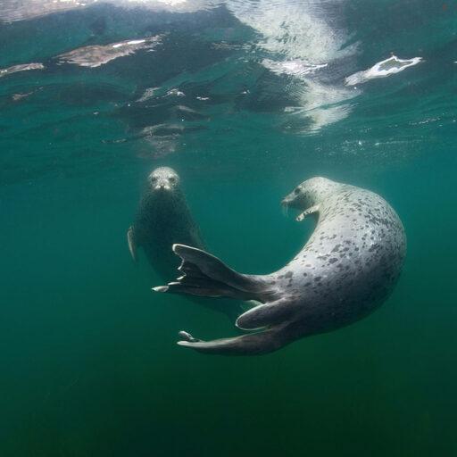 Человек и тюлень
